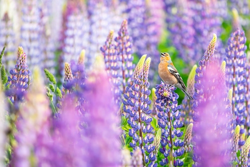 Chaffinch in the Fields of Lupins