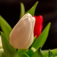 rote und weiße Tulpen 01 (p.schmal) Tags: olympuspenf olympus60mmf28makro tulips tulpen