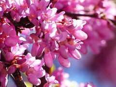 Spring tree (lauracastillo5) Tags: flowers tree spring bloom blooming garden pink nature floral flower close