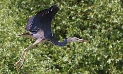 Grey Heron -Ardea cinerea - Danube Delta Romania (5) (Ann Collier Wildlife & General Photographer) Tags: danubedelta riverdanube romania greyheron ardeacinerea heron birds bird naturalhistory nature inflight
