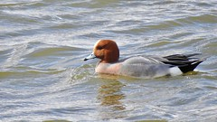 Widgeon (LouisaHocking) Tags: wild wildlife nature southwales creature bird british wales widgeon