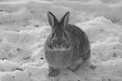 Keeping my Eye On You (Tammy Strot) Tags: rabbit blackandwhite blackandwhitephotography bw bwphotography snow canon canonusa canonphotography nature naturephotography outdoor outdoorphotography outside outsidephotography