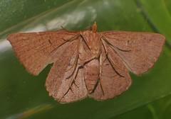 Odd-bod geometrid moth Epidesmia sp Oenochrominae Geometridae Airlie Beach rainforest P1460897 (Steve & Alison1) Tags: oddbod geometrid moth epidesmia sp oenochrominae geometridae airlie beach rainforest