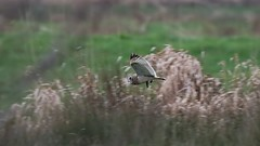 A quick record shot: Shortie with a vole (Cosper Wosper) Tags: seo somerset levels