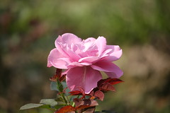 Pink Rose (arif.bsl14) Tags: flower flowers rose roseflower blooming bud bloom natural nature macro closup
