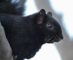 The Polar Vortex Has Arrived! (DaPuglet) Tags: squirrel squirrels black blacksquirrel animal animals nature wildlife frost whiskers fur cold winter snow polarvortex ontario specanimal frozen ottawa weather coth5