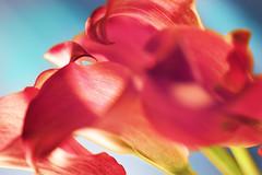 Calla lilies IV (jgokoepke) Tags: callalilies zantedeschia flower blossom mraw labcolor red