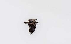 dawsonconservation2019-95 (gtxjimmy) Tags: nikond7500 nikon d7500 tamron 150600mm spring hadley massachusetts dawsonconservationarea connecticutriver eagle baldeagle raptor birdofprey