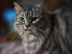 "Grumpy (Light Echoes) Tags: sony a7ii 50mm 2019 spring march cat chat kot gatto feline pet katze kat kalo котка gato gate gat animal 고양이 γάτα kočka 貓 القط kass kissa חתול बिल्ली miv macska kucing 猫 vighro kaķis katė qattus katten گربه pisica кошка mačka katt แมว kedi кішка بلی mèo cath rescue longhairdomestic bugaboo boo bokeh ""sonyflickraward"