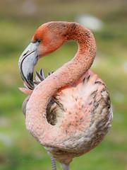 Next top model (Karsten Gieselmann) Tags: 300mmf4 bavaria em5markii flamingo germany mzuiko microfourthirds natur olympus tiere tiergarten tiergartenzoo vögel kgiesel m43 mft nature zoo nürnberg bayern deutschland