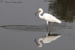 Airone bianco maggiore - Casmerodius alba (francescociccotti1) Tags: