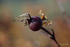 Autumn - Trioplan Shot (gporada) Tags: autumn macro ilce7m2 sonya7ii trioplan autumncolors meyeroptikgörlitz extensiontubes bokeh bokehlicious silky soft softbokeh