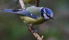 Blue Tit - Upton CP Dorset -140119 (8) (Ann Collier Wildlife & General Photographer) Tags: bluetit uptoncountrypark poole pooleharbour dorset dorsetwildlife birds bird naturalhistory nature wildlife wildbirds
