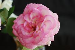 Gedenkt mein schlauer Feind (amras_de) Tags: rose rosen ruža rosa ruže rozo roos arrosa ruusut rós rózsa rože rozes rozen roser róza trandafir vrtnica rossläktet gül blüte blume flor cvijet kvet blomst flower floro õis lore kukka fleur bláth virág blóm fiore flos žiedas zieds bloem blome kwiat floare ciuri flouer cvet blomma çiçek