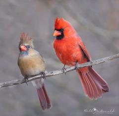 Cardinal couple (Bill McDonald 2016) Tags: cardinal male female northern bird birds avian winter ontario 2019 february perched perching nature wildlife boardwalk billmcdonald wwwtekfxca couple pair