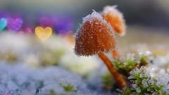 Heart - 6443 (ΨᗩSᗰIᘉᗴ HᗴᘉS +50 000 000 thx) Tags: macro bokeh heart snow hiver winter mushroom champignon fungus belgium europa aaa namuroise look photo friends be wow yasminehens interest eu fr greatphotographers lanamuroise flickering