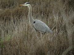 Great Blue Heron at Ballona Wetlands (stonebird) Tags: greatblueheron ardeaherodias ballonawetlandsecologicalreserve areab palustrinewetland rainyday february img8234