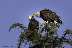 Happy Valentine's Day - IMG_9162-1 (arvind agrawal) Tags: baldeagle eagle wildlife milpitas nationalbird happyvalentinesday canon 1dx 600mm arvindagrawal