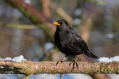 Blackbird 02-Feb-19_M 001 (gomo.images) Tags: 2019 bird blackbird country fife mortonlochs nature scotland years