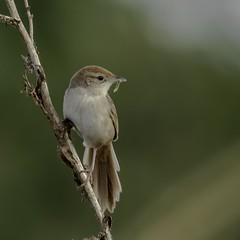 Showing Off (gecko47) Tags: animal bird tawnygrassbird grassbird food caterpillar oxleycreekcommon rocklea brisbane megalurustimoriensis twig