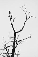 DFL_7942-01 (MILESI FEDERICO) Tags: milesi milesifederico milesifedericofoto federicomilesifoto valsusa valdisusa visitpiedmont valliolimpiche valledisusa visititaly visitvaldisusa piemonte piedmont inmontagna nikon nikond7100 nital iamnikon italia italy europa europe alpi alpicozie alps alpes 2018 wild wildlife wildlifephotographer bianconero bw biancoenero blackandwhite monocromatico