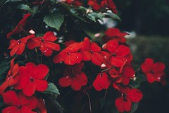 Flowers (samineum) Tags: plants color closeup nursery small nature floral bloom garden flower flowers