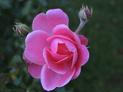Rose 015 (Andras Fulop) Tags: budapest hungary nikon flower rose pink garden nature p7700