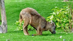 Pairi Daiza (63) (Johnny Cooman) Tags: brugelettecambroncasteau wallonie belgië bel animal dieren natuur ベルギー aaa panasonicdmcfz200 henegouwen hainaut belgium bélgica belgique belgien belgia zoo