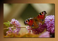Tagpfauenauge (Aglais io) (aschnirch) Tags: schmetterling falter insekte tagfalter nature natur color canon