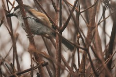 Boreal Chickadee quick glimpse through the window (BSendelbach) Tags: borealchickadee borealchickadeenewjersey birds winterbirds