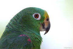 Amazona ochrocephala (Wildlife and nature - Colombia) Tags: amazonaochrocephala yellowcrownedparrot lorafrentiamarilla lora loro parrot