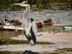 Great Blue Heron (Edhorton) Tags: