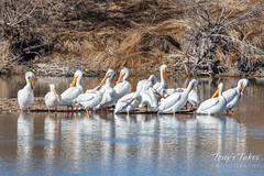 March 9, 2019 - Pelicans hang out at an Adams County pond. (Tony's Takes)