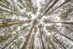 Look up (Julie Holland photography) Tags: trees pines landscape australia albany albanywesternaustralia canoneos5dmarkiii