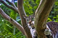 Green Eyes (Eugenio GV Costa) Tags: gatto gatti cat cats albero animal