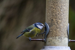 "a gorgeous little blue tit (Cyanistes caeruleus) decides to stick his boot in to get the sunflower seeds out. A Potterton Garden, Aberdeenshire, Scotland (grumpybaldprof) Tags: canon 7d ""canon7d"" sigma 150600mm f563 ""dgoshsmsport"" ""sigma dgoshsmsport"" tits ""bluetit"" ""cyanistescaeruleus"" chickadee titmice paridae passerines birds small ""apottertongarden"" potterton aberdeenshire scotland sunflower seeds feeder winter"