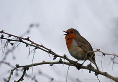 Singing robin (yvonnepay615) Tags: panasonic luimix gh4 nature bird robin lynford norfolk eastanglia uk ngc