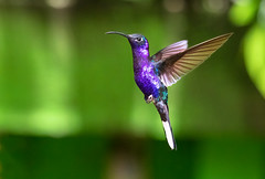 Violet sabrewing in fliglht (Xuberant Noodle) Tags: adult america animal beautiful bird campylopterus central color colorful colour colourful costa environment flight fly flying forest frozen hemileucurus humming hummingbird inflight iridescence iridescent jungle latin life male monteverde nature outdoor outdoors outside pretty rain rainforest rica sabre sabrewing spread tropical tropics vibrant violet wild wildlife wing