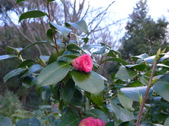 19o2069 (kimagurenote) Tags: ヤブツバキ camellia camelliajaponica flower 東高根森林公園 higashitakane forest park 川崎市宮前区 miyamaekawasaki