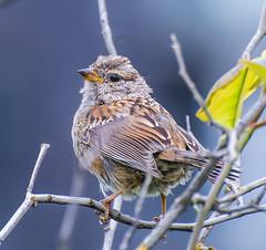 Fuzzy Portrait. (Omygodtom) Tags: portrait wildlife bird sparrow season scene nikon70300mmvrlens molting nature nikkor d7100 branch scenic