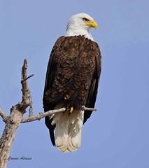 Pepin Mn Bald Eagle 1 (angelbrd59@yahoo.com) Tags: baldeagle twop supershot naturephotography fantasticnature