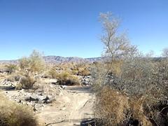 smoke tree (h willome) Tags: 2018 desert coachellavalleypreserve
