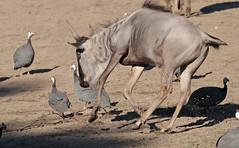 wildebeast Burgerszoo 094A0514 (j.a.kok) Tags: animal africa afrika antilope wildebeast gnoe gnu mammal zoogdier dier herbivore burgerszoo burgerzoo