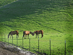 Spring (skipmoore) Tags: livermore grazing horses grass