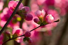 Springflower (stgio) Tags: flowers spring primavera stagioni rosa fiorirosa fioritura cotognogiapponese cotogno pink bokeh