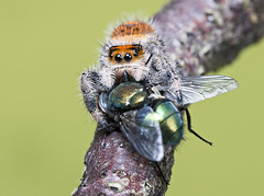 Jumping Spider and Prey (Gary Stamp cPAGB) Tags: canon jumpingspider prey macro