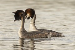 The look of Love. (noelbarke) Tags: bird great crested grebes noel barke wildlife trusts nottinghamshire attenborough nature reserve courting dance podiceps cristatus lake diver water male female