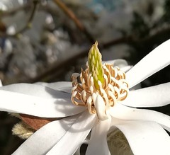 Flower (daveandlyn1) Tags: flower magnolia stigma elements closeup macro whiteflower whitepetals smartphone cameraphone psdigitalcamera pralx1 p8lite2017 huawei