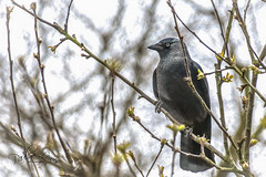 Jackdaw (pollylew) Tags: jackdaw wild wildbird