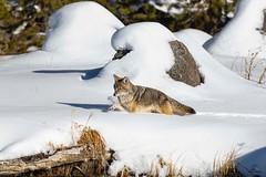Breaking Trail (Glatz Nature Photography) Tags: madisonriver nikond850 snow canislatrans coyote glatznaturephotography nature northamerica usnationalparks wildanimal wildlife winter yellowstonenationalpark